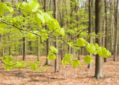 Beukenbos - Beech Forest in Spring 1