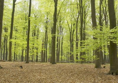 Beukenbos - Beech Forest in Spring 2