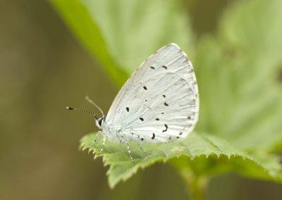 Boomblauwtje - Holly Blue (Celastrina argiolus)
