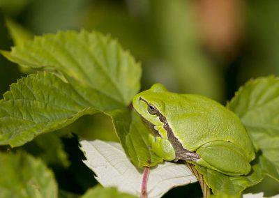 Boomkikker - European Tree Frog (Hyla arborea)