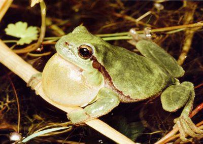 Boomkikker - European Tree Frog (Hyla arborea) Male calling