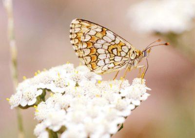 Bosparelmoervlinder - Heath Fritiillary (Mellicta athalia)