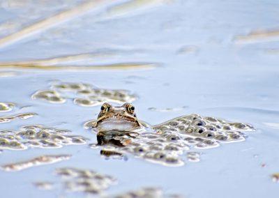 Bruine kikker - Common Frog (Rana temporaria)