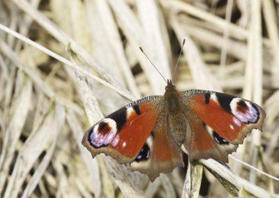 Dagpauwoog - Peacock Butterfly (Inachis io)