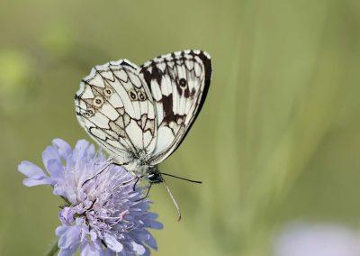 Dambordje - Marbled White (Melanargia galathea)