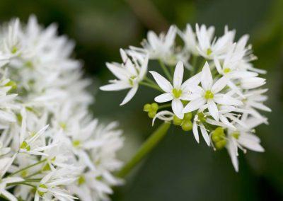 Daslook - Ramsons or Wild Garlic (Allium ursinum)