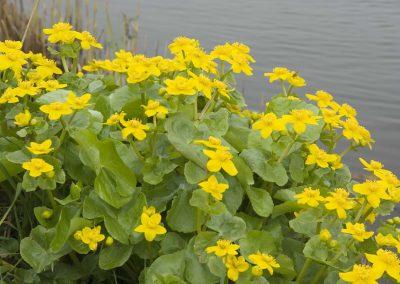 Dotterbloem - Marsh Marigold (Caltha palustris) along the River Vlist 2