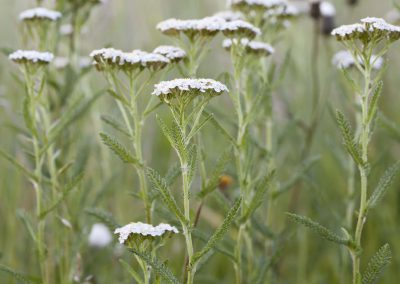 Duizendblad - Yarrow (Achillea millefolium)