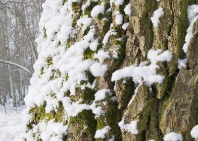 Eikenstam met sneeuw - Trunk of Oak with Snow