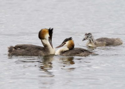 Fuut met jong - Great crested grebe with young
