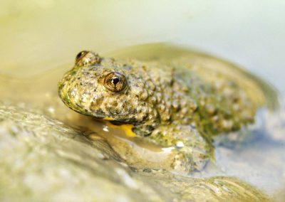 Geelbuik vuurpad - Yellow-bellied Toad (Bombina variegata)
