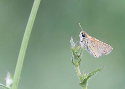 Geelsprietdikkopje - Small Skipper (Thymelicus sylvestris)