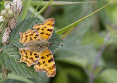 Gehakkelde aurelia - Comma Butterfly (Polygonia c-album)