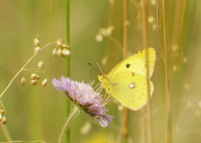 Gele luzernevlinder - Pale Cloude Yellow (Colias hyale)a