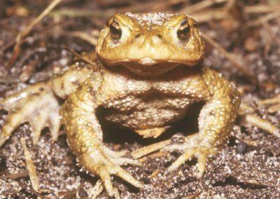 Gewone pad - Common Toad (Bufo bufo)