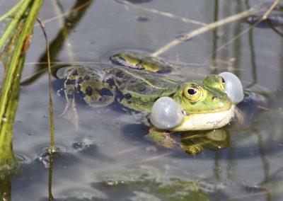 Groene kikker - Edible Frog (Rana kl. esculenta) Male calling