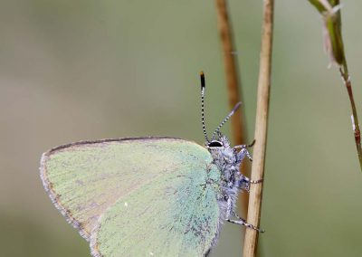 Groentje - Green hairstreak (Callophrys rubi)