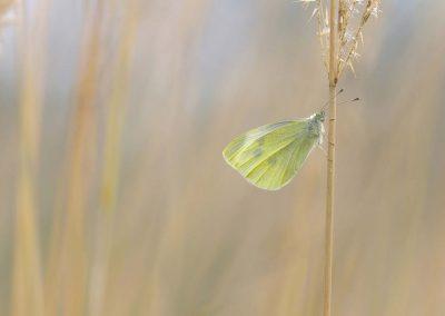 Groot koolwitje - Large White (Pieris brassicae)