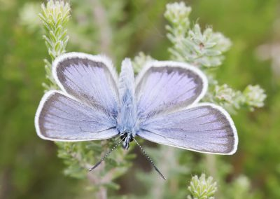 Heideblauwtje - Silver Studded Blue (Plebeius argus)
