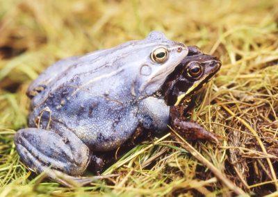 Heikikker - Moor Frog (Rana arvalis) Amplex