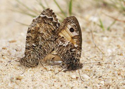 Heivlinder - Grayling (Hipparchia semele)
