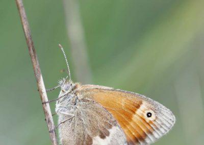 Hooibeestje - Small Heath (Coenonympha pamphilus)