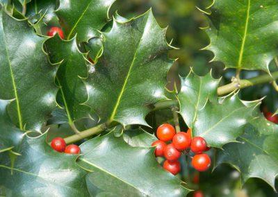 Hulst - Holly (Ilex aquilinum)