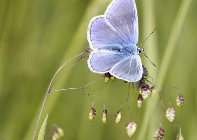 Icarisblauwtje - Common Blue (Polyommatus icarus)