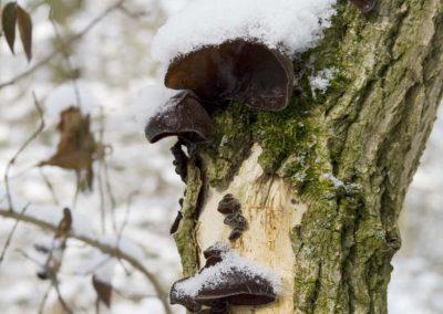 Judosoor met sneeuw - Jew's Ear Fungus (Hirneola auricula-judae) with Snow