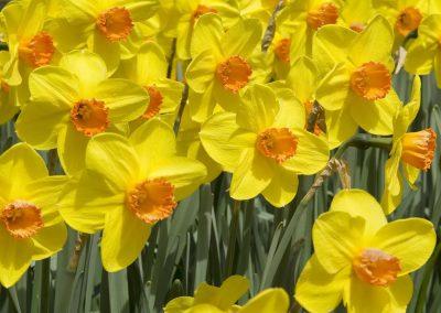 Keukenhof - Narcissen - Yellow Daffodils