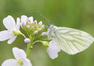 Klein geaderd witje - Green-veined White (Pieris napi)
