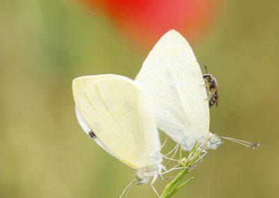 Klein koolwitje - Small White (Pieris rapae)