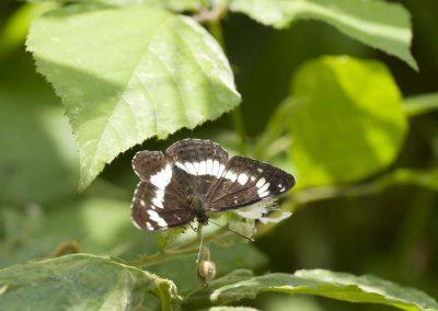 Kleine ijsvogelvlinder - White Admiral (Limentitis camilla)
