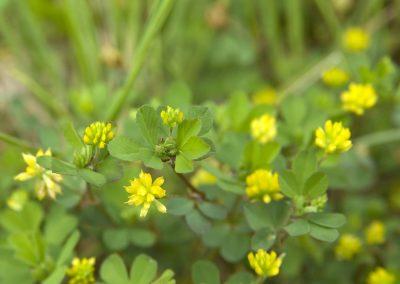 Kleine klaver - Lesser Tifoil (Trifolium dubium)