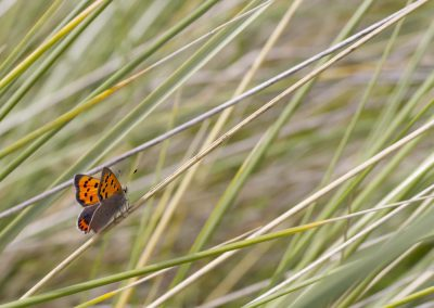 Kleine vuurvlinder - Small Copper (Lycaena phlaeas)
