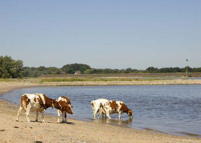 Koeien aan het strand - Cows on the Beach (River Waal)