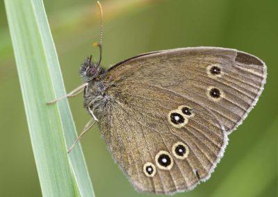 Koevinkje - Ringlet (Aphantopus hyperanthus)