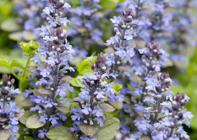 Kruipend zenegroen - Blue Bugle (Ajuga reptans)