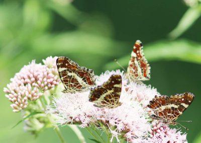 Landkaartje - Map Butterfly (Araschnia levana)