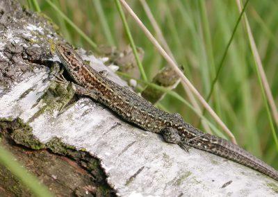 Levendbarende hagedis - Viviparous Lizard (Lacerta vivipara) Female