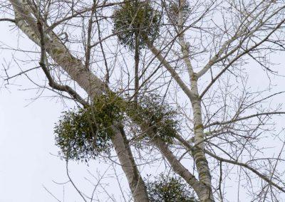 Maretak in Populier - Mistletoe in Poplar