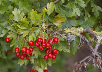 Meidoorn bessen - Hawthorn with red berries (Crataegus monogyna)