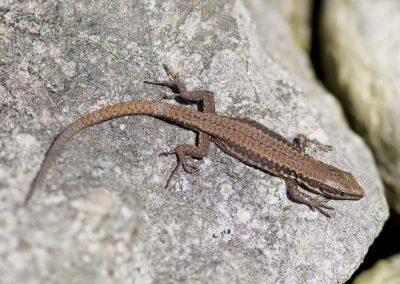 Muurhagedis - Common Wall Lizard (Podarcis muralis)