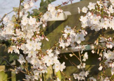 Prunus 1