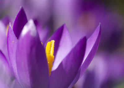 Purple Crocus 3