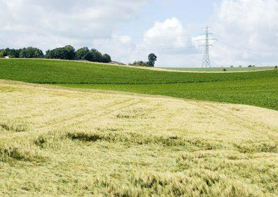 Rogge akker in Zuid Limburg - Grain Field (Rye)
