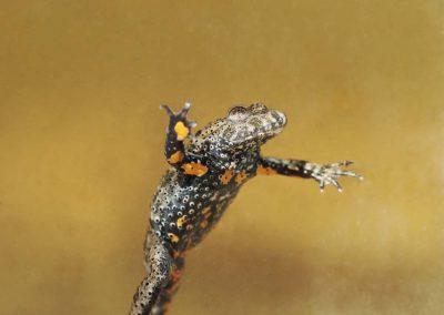 Roodbuik vuurpad - European fire-bellied Toad (Bombina bombina)