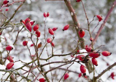 Rozebottels in sneeuw - Rose Hips in Snow