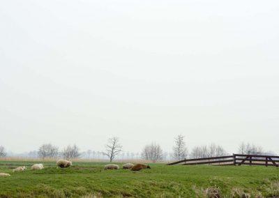 Schapen aan de oever van de Vlist - Sheep along the river Vlist