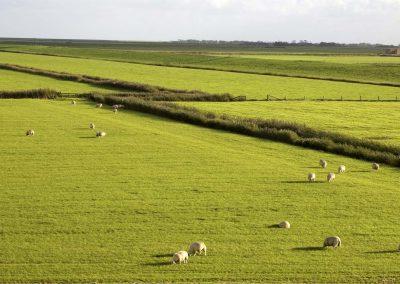 Schapen in het Texels landschap - Sheep in the Texel Landscape